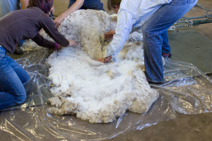 fleece-rolling-off